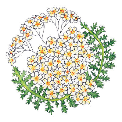 Yarrow Temporary Tattoo