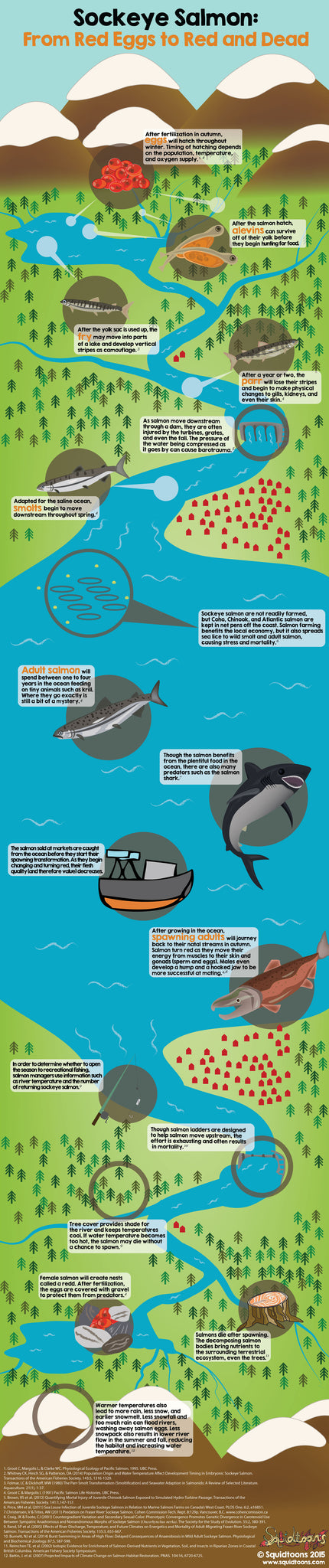 From Red to Dead Sockeye Lifecycle Infographic Squidtoons www.squidtoons.com