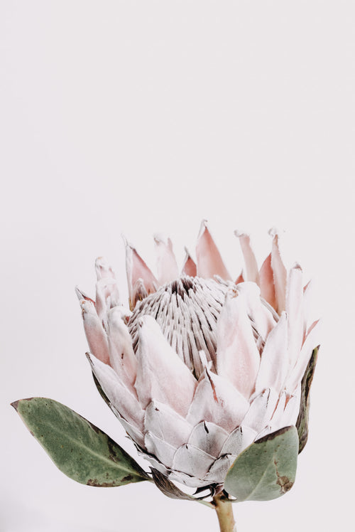 Donna Delaney - Pretty Protea Print (various sizes)