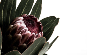 Donna Delaney - Protea Crush Print (various sizes) - norsu interiors (3649995046996)