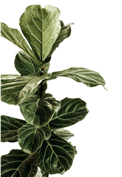 Donna Delaney - Fiddle Fig
