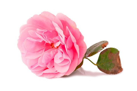 Rose Extract