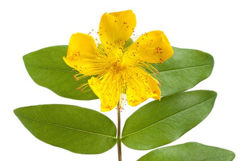 St. John's Wort Macerated Oil Organic