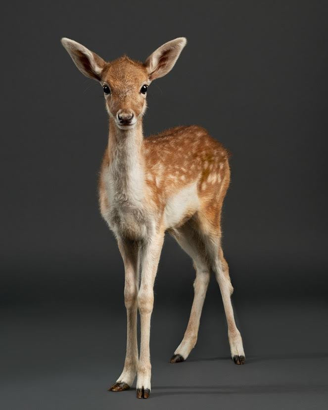 Doenut the Baby Fawn