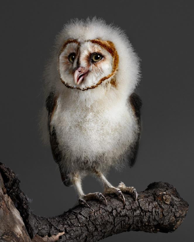 Banchi the Baby Barn Owl