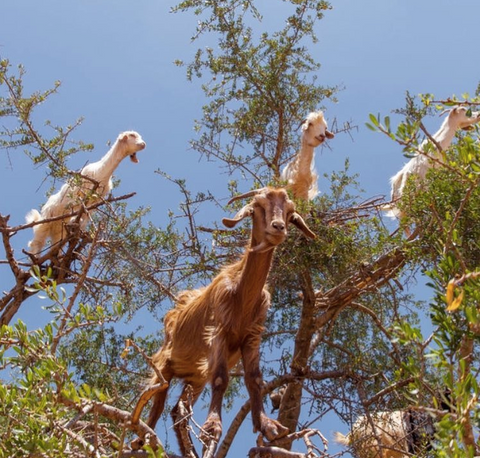 argan nut oil goats