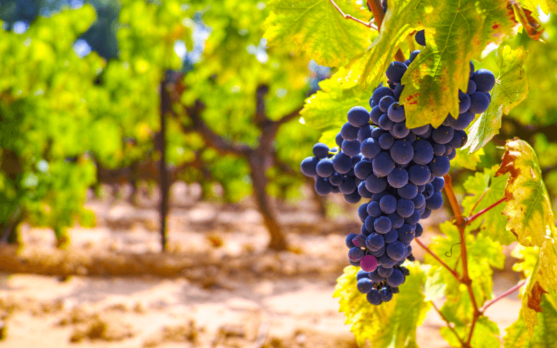 French red and rose wine grapes plant