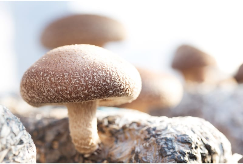 Shiitake mushrooms cultivated the traditional organic way