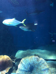 menacing shark at the aquarium