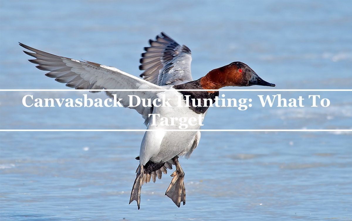 Canvasback Duck Hunting: What To Target