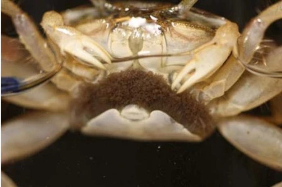 Fiddler Crab With Eggs
