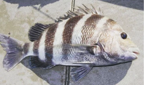 Knowing The Regulations For Sheepshead Helps With Conservation