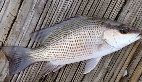 Mangrove Snapper With Distinct Features