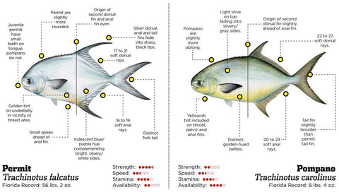 Permit Fish Vs Pompano Fish: The differences