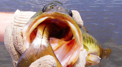Bass Eating a Snook from Space Coast Daily