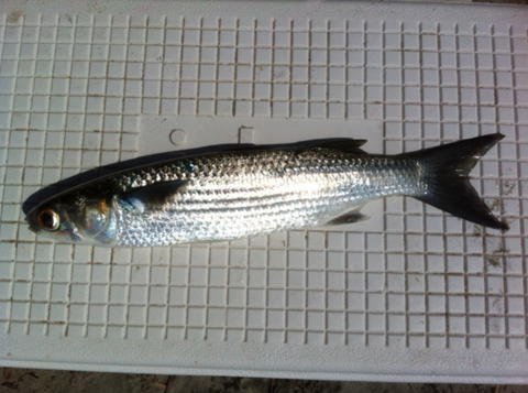 """A """"Horse"""" Mullet for the large snook"""
