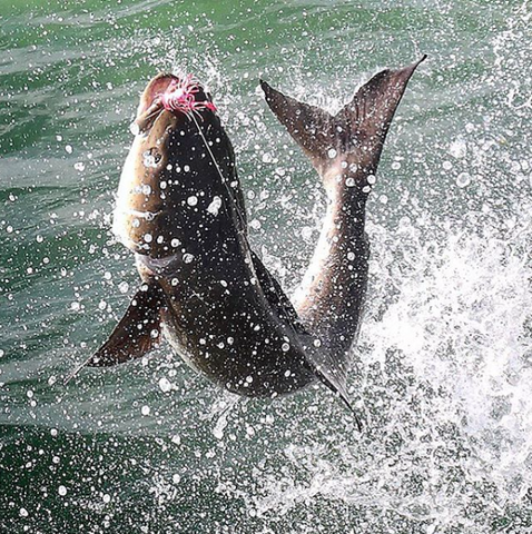 Cobia Jumping while cobia fishing