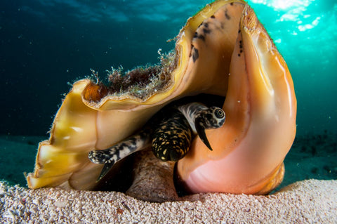 Queen Conch on Hunting and Fishing Depot