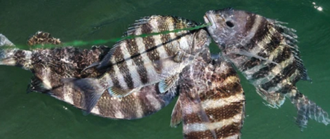 Stringer of sheepshead caught at the jetties
