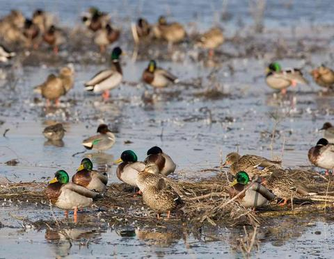 Waterfowl Hunting: Basics For Hunting Early-Season Mallards