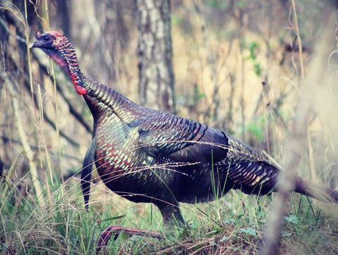 How to Hunt Turkeys in the Afternoon