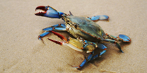 Blue Crab: Easiest crab to target inshore