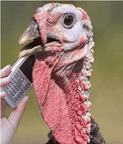 Turkey Calling Excessively