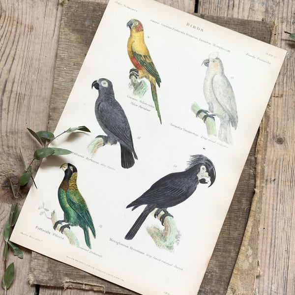 Victorian Tropical Birds Coloured Engraving