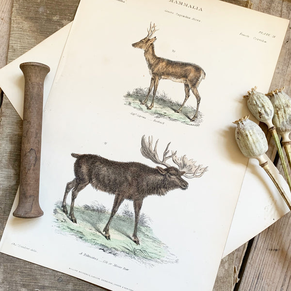 Victorian Elk & Roebuck Coloured Engraving