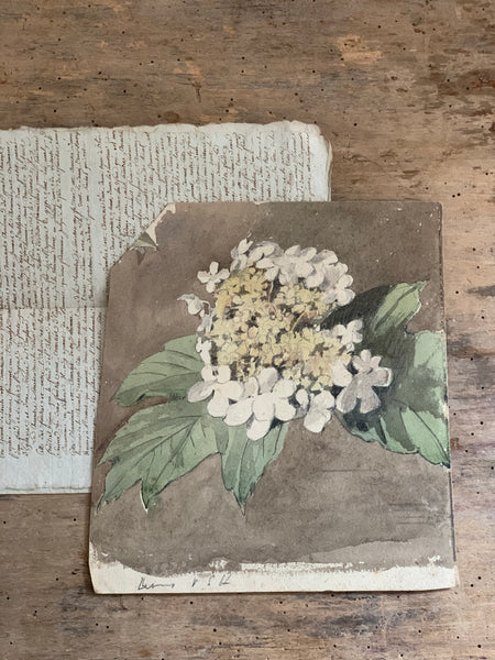 Hydrangea Watercolour from 1901