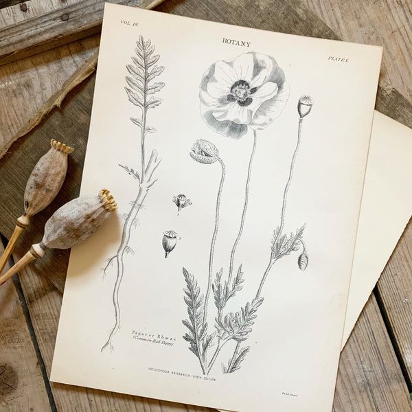 Victorian Botany Book Plate - Red Poppy