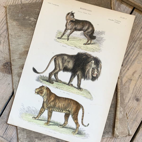 Victorian Lions & Tigers Coloured Engraving