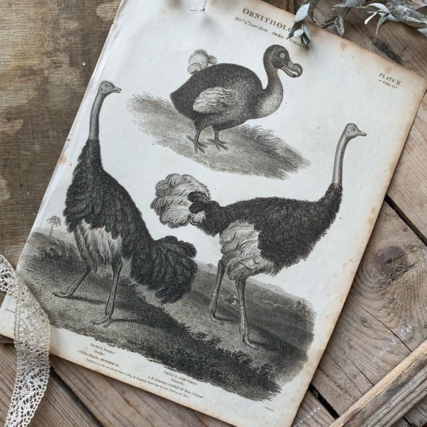 19th Century Ornithology Dodo & Ostrich Plate Print
