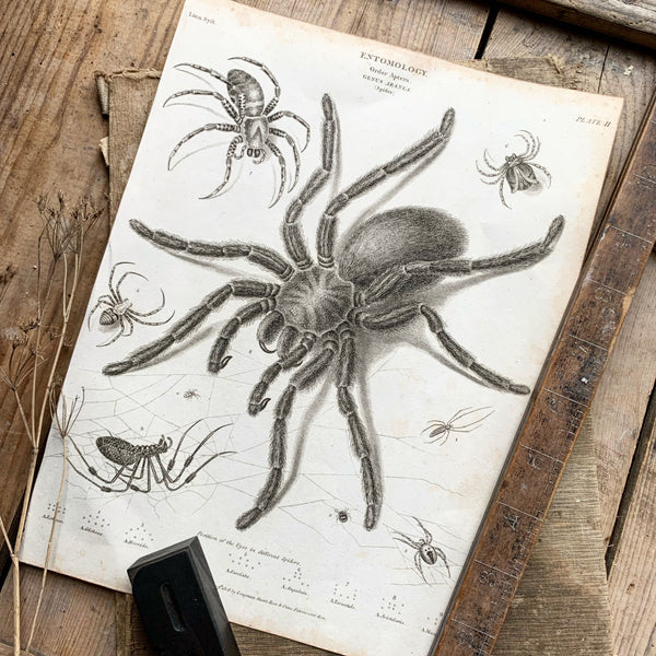 19th Century Entomology Plate Print - Spiders