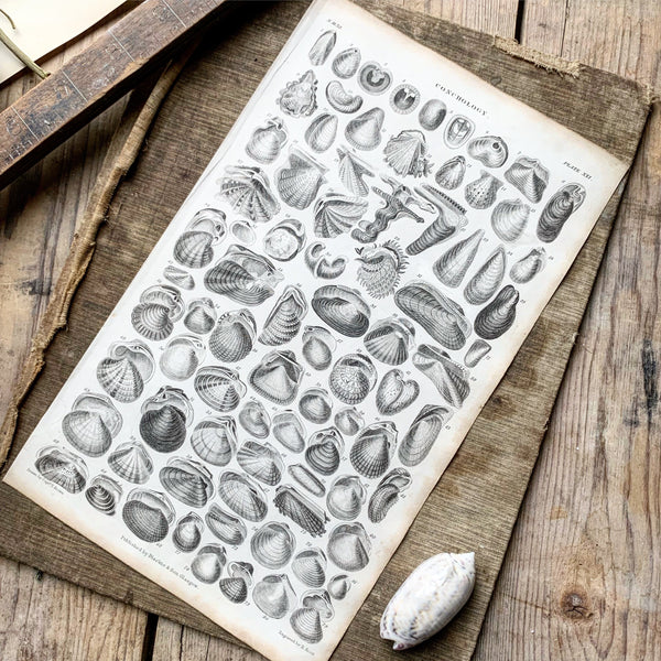 Victorian Conchology Book Plate Print