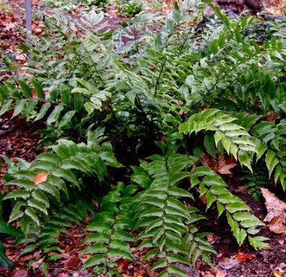 301 - Japanese Holly Fern