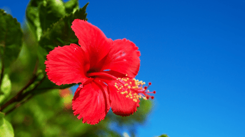 How to make holi colour using hibiscus flower
