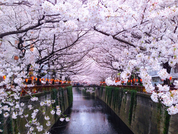 Corona Virus and Cherry Blossom Season in Japan