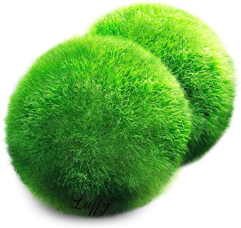 20 pcs LUFFY Giant Marimo Moss Balls: Beautiful and Attractive Live Plant Aquarium Decor - Symbolize Eternal Love