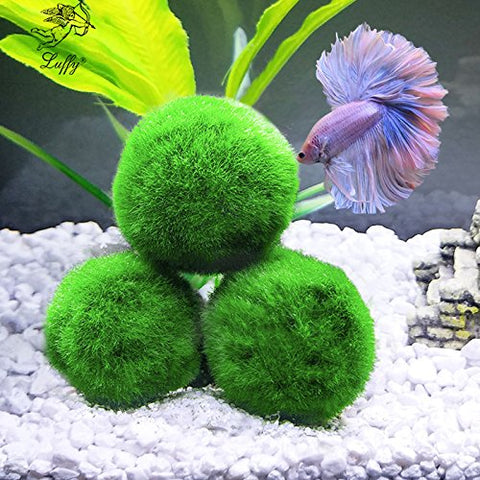 Luffy Giant Marimo Moss Ball: Live green Plants for aquarium fishes