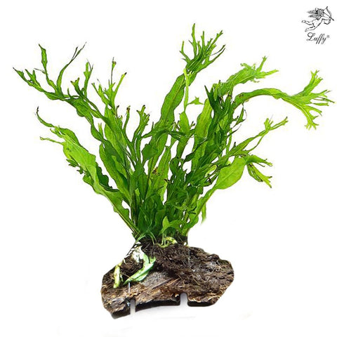 LUFFY Coco Philippines Java Fern with 10+ Leaves