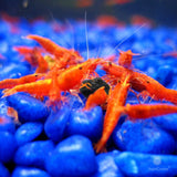 Shirakura Juvenile Shrimp Food for 2-4 months old Shrimps
