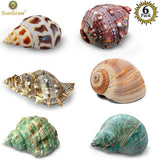 6 Assorted Turbo Hermit Crab Shells