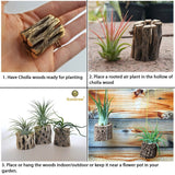 6 Cholla Wood Pieces for Air Plants