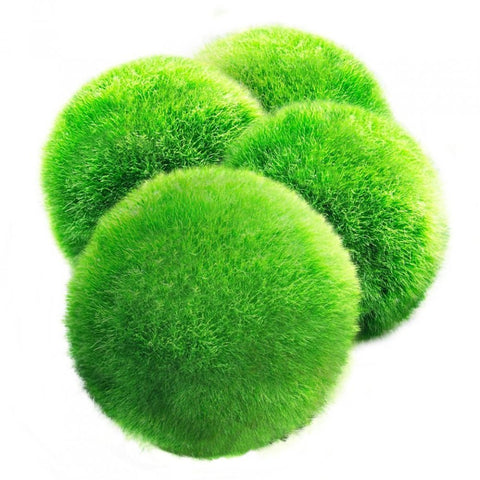 Luffy Giant Marimo Moss Ball - Live green Aquairum Decor, Aquatic Plants