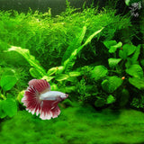 Betta Carpet by Luffy – Thrive with Minimal Care