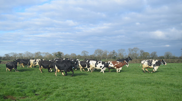 Pastures new for the Barber's cows