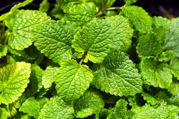 Melissa plant, or Lemon Balm