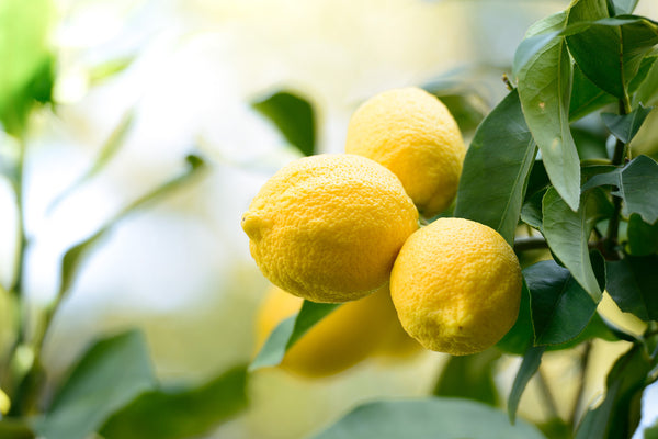 Lemon (Citrus limon) Organic Essential Oil
