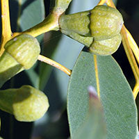Essential Oil of Eucalyptus - Creole Secret Therapeutic Aromatherapy